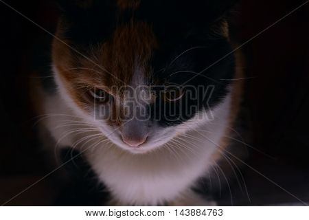 Three-color cat who thoughtfully watch. Смотрящая тре