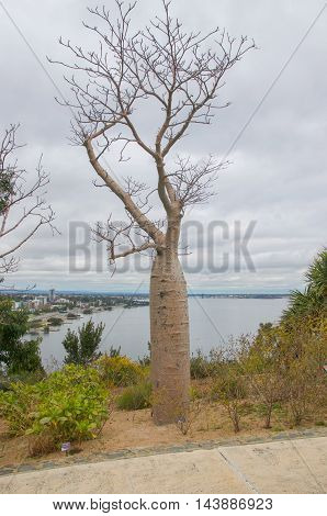 Boab tree with elevated views over the Swan River at King's Park in Perth, Western Australia.