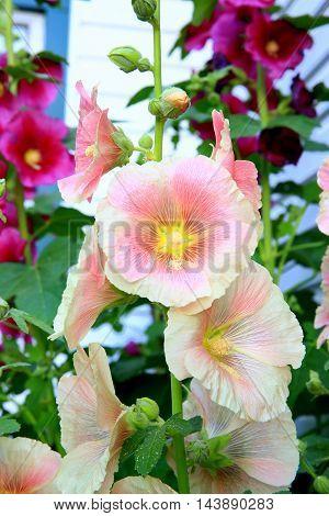 pink holly hock flower stem blooms magenta