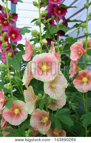 summer holly hock flower garden blooms magenta pink
