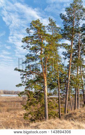 Pine Forest In Spring. The Season Of Spring. Spring, Springtime, Springtide, Prime