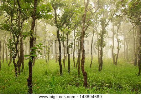 Green forest with rains on fog and mist