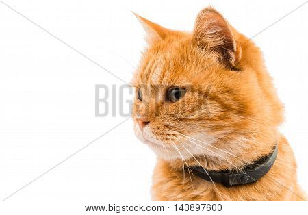 orange ginger cat isolated on white background