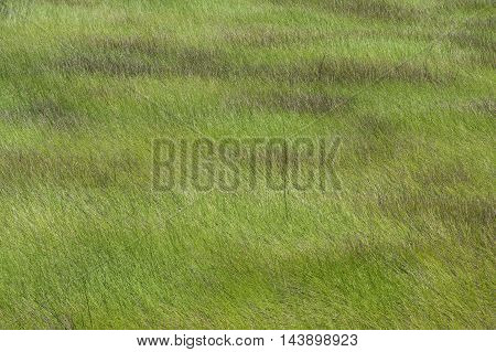 Wide high angle background image of savannah swamp in Campeche Mexico covered with native Cladium sawgrass under midday light