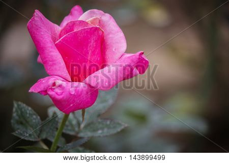 Close up Natural pink roses background in the park