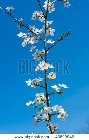 spring Flowering branch against the blue sky