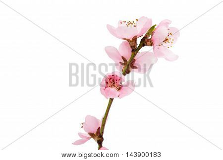 Cherry blossom sakura flowers isolated on white background