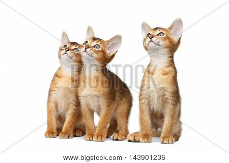 Three Cute Abyssinian Kitten Sitting and interesting Looking up, Stare in Camera on Isolated White Background, Front view