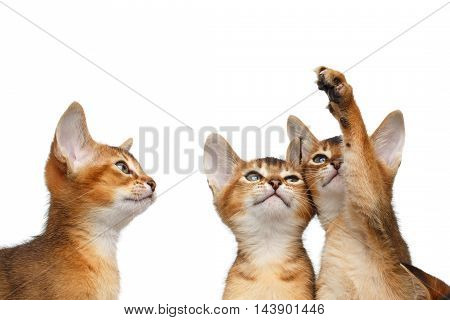 Closeup Three Cute Abyssinian Kitten interesting Looking up, Raising paw on Isolated White Background