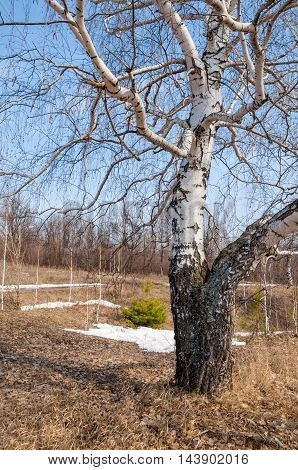 Early Spring, Birch In Early Spring, The Remains Of Old Snow