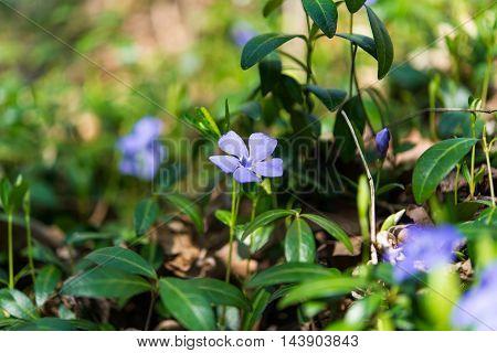 periwinkle  blue flowers blooming in the meadow