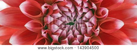 Closeup photo of a red and white dahlia flower