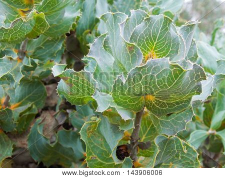 Closeup of Royal Hakea green leaves with visible veins in full frame.