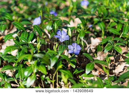 blue periwinkle flowers blooming in the meadow