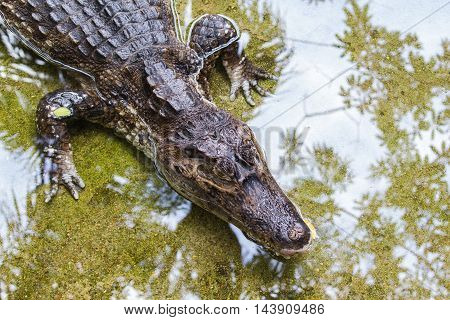 The spectacled caiman (Caiman crocodilus) also known as the white caiman or common caiman is a crocodilian reptile found in much of Central and South America. Amazonas Brazil