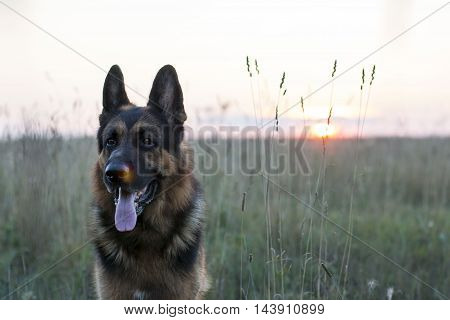 Dog German Shepherd On The Field And Sunset