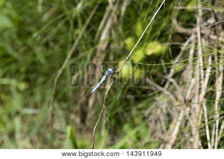 big blue body dragonfly outdoor macro closeup