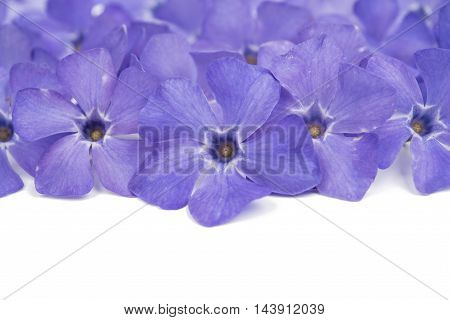 periwinkle  beauty flower on a white background