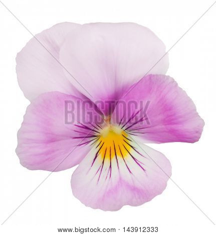 magenta pansy isolated on white background