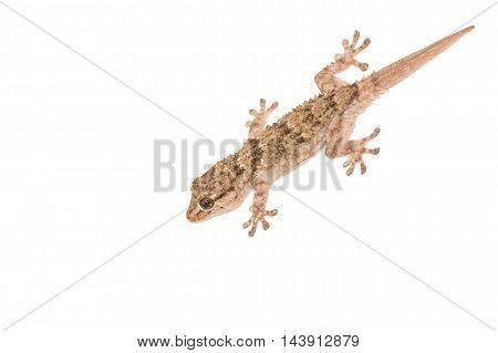 Gekko small iguana isolated on white background