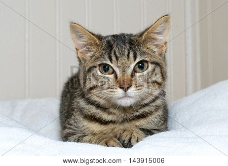 brown and gray tan striped tabby kitten laying on a white blanket brown panel wall background. Copy space