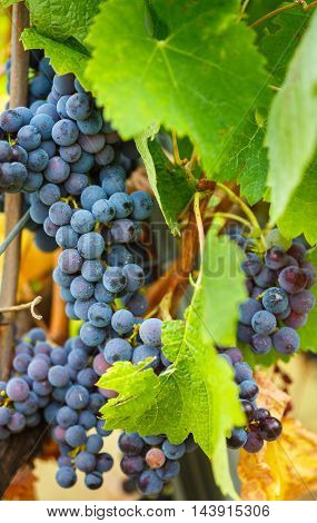 Blue Cabernet Grapes In The Vineyard