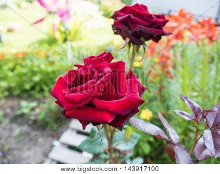 Scarlet Roses On A Bush