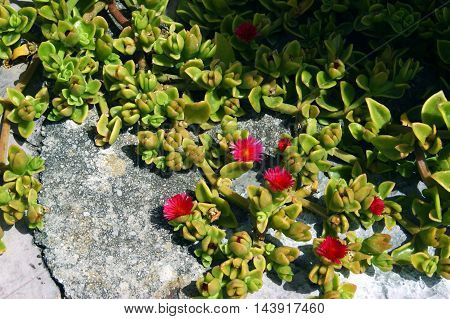 Aptenia cordifolia plant with small pink flowers