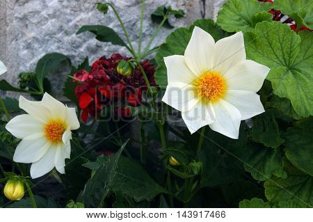 White dahlia with a yellow core in flowerbed