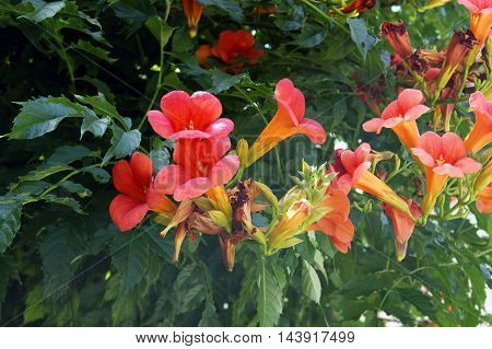 Pink flowers of campsis among the green foliage