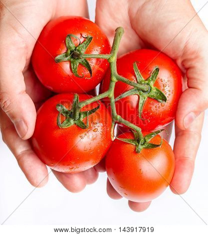 Holding Fresh Red Tomatoes Just Picked From The Vine