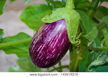 Plant of aubergine - cultivation of eggplants in vegetable garden