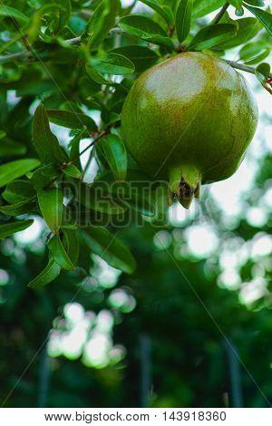 Green big pomegranate ripen in the tree