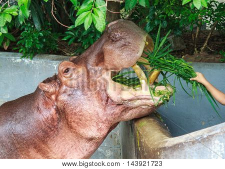 Close up feeding eating vegetable big hippopotamus