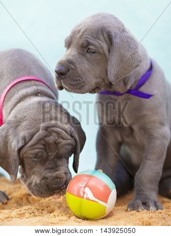 Two grey Great Dane purebred puppies with a ball on sand