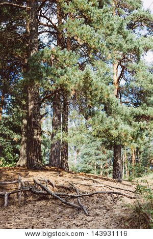 Beautiful vintage like photo of tall pine trees in an old forest. Summer day in the woods.