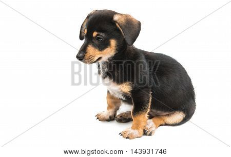 Dachshund puppy dog on a white background