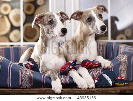 Portrait of a whippet puppies