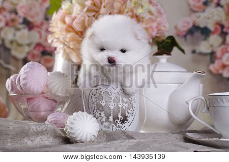 The little white Pomeranian puppy and marshmallows