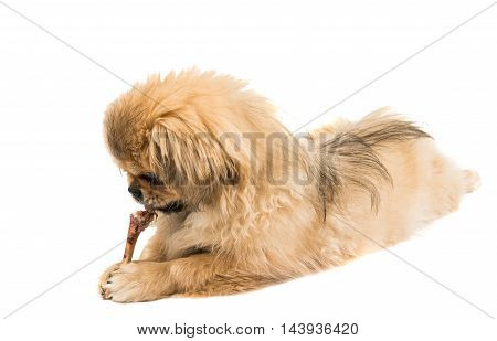 Pekingese small portrait on a white background