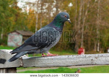 Pigeon Sitting On Parapet Of The Bridge