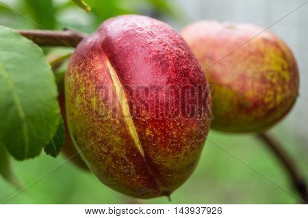 peach growing on a tree in the garden