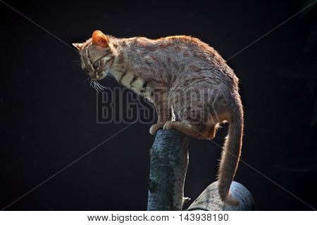 Rusty-spotted cat (Prionailurus rubiginosus phillipsi). Wildlife animal.
