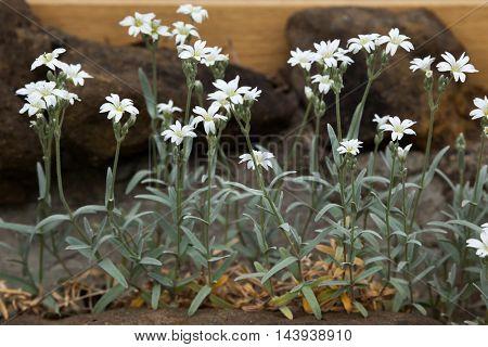 Snow-in-summer (Cerastium tomentosum). Flowering plant.