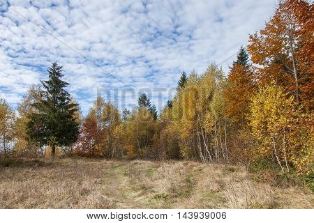 Autumn mixed forest colorful trees. Deciduous and coniferous forest with yellow orange leaves green needles. Dry grass on the ground. Cloudy sky