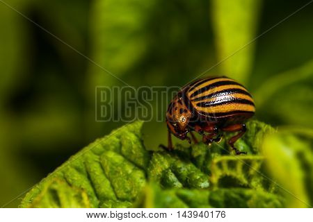 Colorado beetle eats a leaves on the potato bush