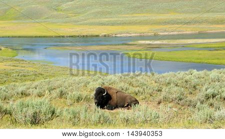 Lone Bison resting on open prairie near Yellowstone River in Wyoming