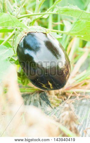 Close-up Of Round Shape Organic Eggplant