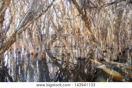 Wetland paper bark trees in the peaceful waters at the wildlife reserve Herdsman Lake in Western Australia.