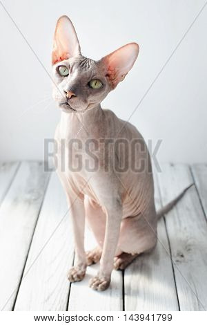 cute cat sphinx on a white wood background selective focus